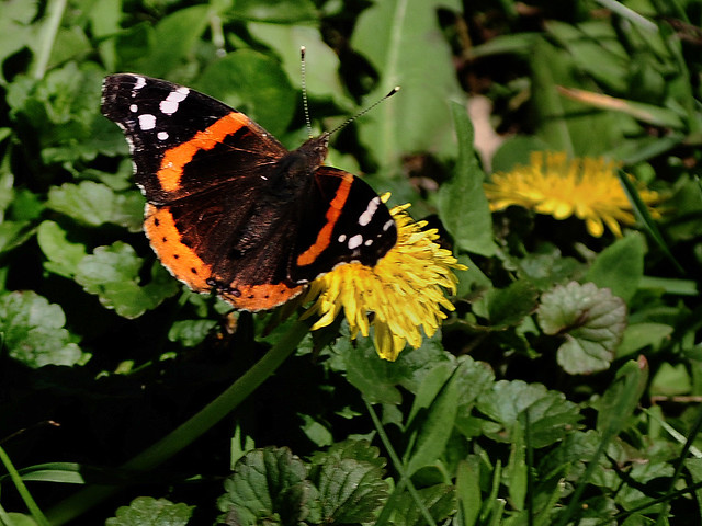 The Spring Migration of the Red Admirals Has Arrived