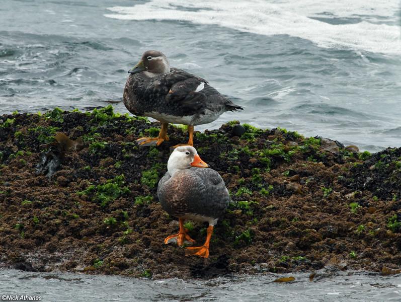 Фолклендская утка-пароход