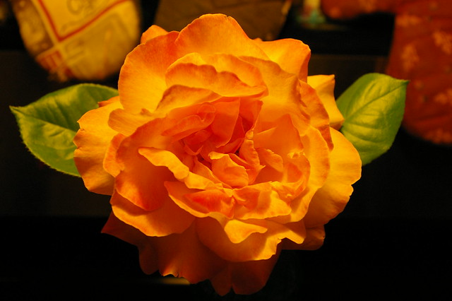 Peace Rose Closeup