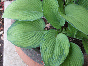 Hosta-Inniswood_B_500