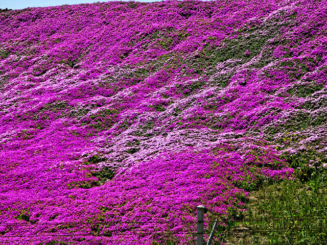 Purple flowers purple ground cover on a hill in santa for Purple flower ground cover perennial