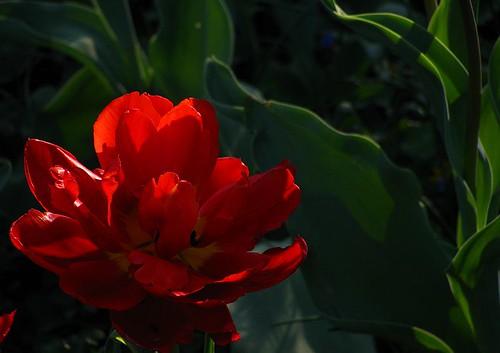 viking tulip by raznicu2010