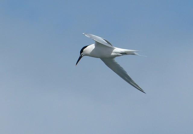 26914 - Sandwich Tern, Rhossili