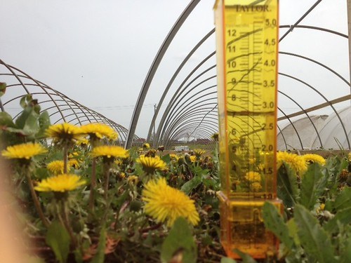 a picture of dandelions in a greenhouse
