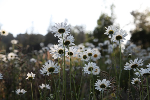 backlit daisies