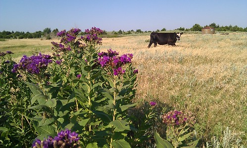Ironweed and whiteface cow
