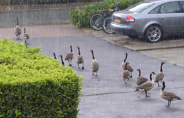 geese in the rain | Flickr - Photo Sharing!: www.flickr.com/photos/colinsite/5215231977