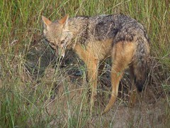 red fox(0.0), saarloos wolfdog(0.0), animal(1.0), red wolf(1.0), mammal(1.0), jackal(1.0), fauna(1.0), dhole(1.0), coyote(1.0), wildlife(1.0),