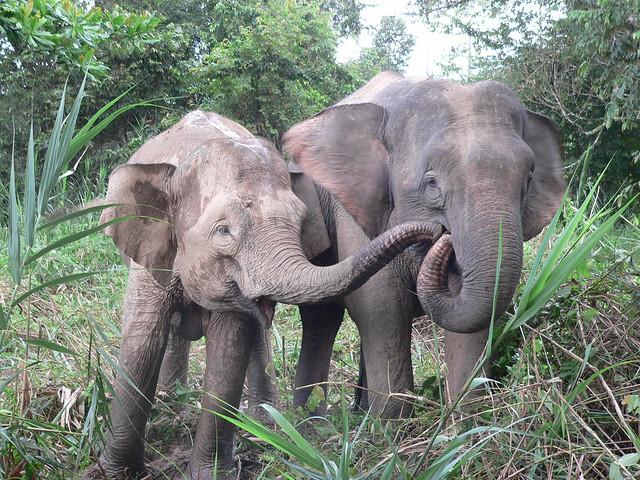 pygmy elephant sandakan malaysia the bornean pygmy