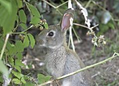 animal, rabbit, domestic rabbit, pet, fauna, wood rabbit, rabits and hares, wildlife,