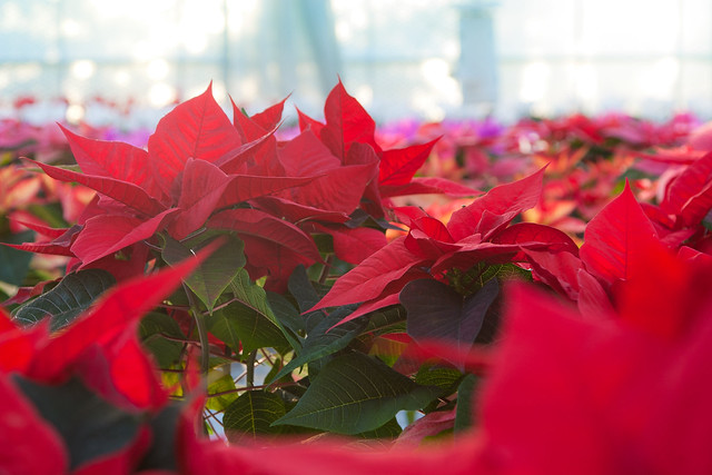 Christmas Poinsettia, Staplehurst from Flickr via Wylio