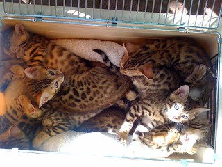 bengal kitten kittens cat cats gift ides
