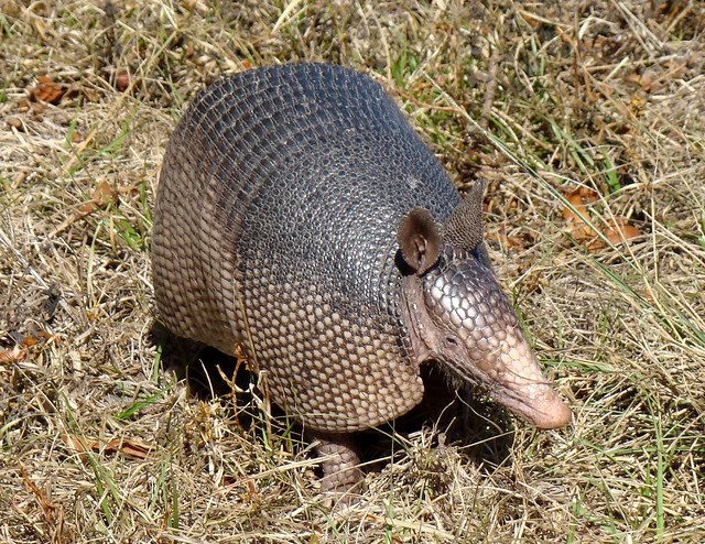 adult armadillo