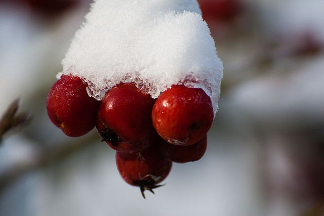 Crab apples: snow