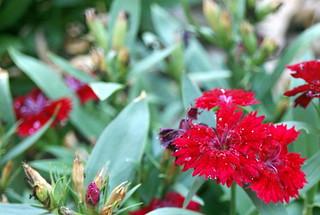 صورة Botanical Garden قرب بورتو أليغري. flower macro carnation botanicalgarden