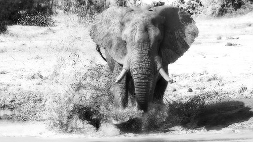 The elephant charge - reduex