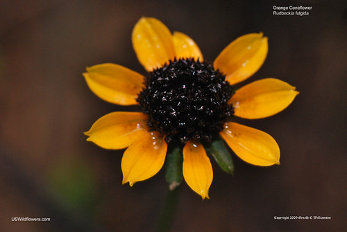 Orange Coneflower - Rudbeckia fulgida