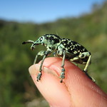 Botany Bay diamond weevil?