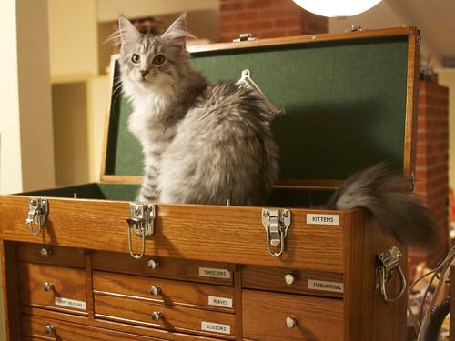 Tool Box Kitten