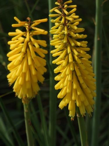 KNIPHOFIA 'Sunningdale Yellow'