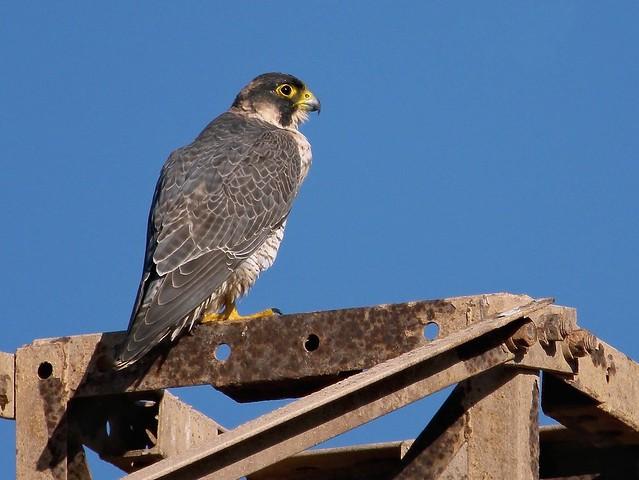 """Barbary Falcon (Falco pelegrinoides), """"El Rubicón"""" plains, Lanzarote"""