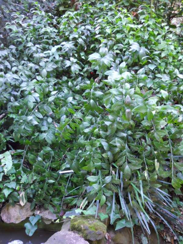 Ruscus hypophyllum v 2