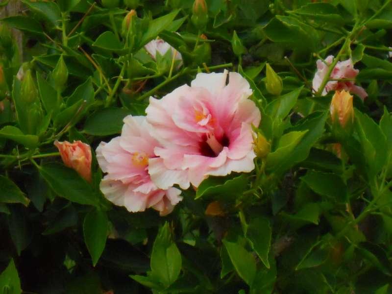Hibiscus rosa sinensis 'Lissabon' 3