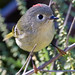 Ruby-crowned Kinglet - Photo (c) Dan Pancamo, some rights reserved (CC BY-SA)