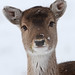 Grassy Mouthed Snow Doe by Dan Belton ( No Badger Cull )