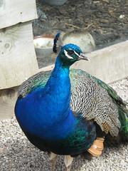 animal, peafowl, fauna, blue, beak, bird, galliformes, wildlife,
