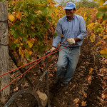 Plowing the Vineyard - Antiyal Winery, Chile