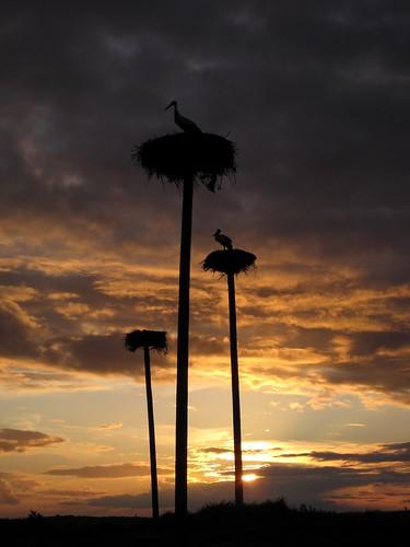 la quinta cáceres cigüeña nwn finca extremadura cigüeñas ciconia barruecos