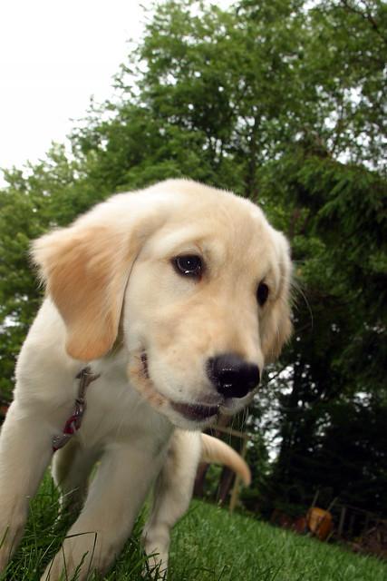 Happy Cheeky Golden Retriever Puppy