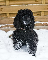 puppy(0.0), schnoodle(0.0), boykin spaniel(0.0), lagotto romagnolo(0.0), poodle crossbreed(0.0), cockapoo(0.0), spanish water dog(0.0), american water spaniel(0.0), toy poodle(1.0), miniature poodle(1.0), standard poodle(1.0), animal(1.0), dog(1.0), snow(1.0), pet(1.0), mammal(1.0), irish water spaniel(1.0), poodle(1.0), portuguese water dog(1.0), barbet(1.0),