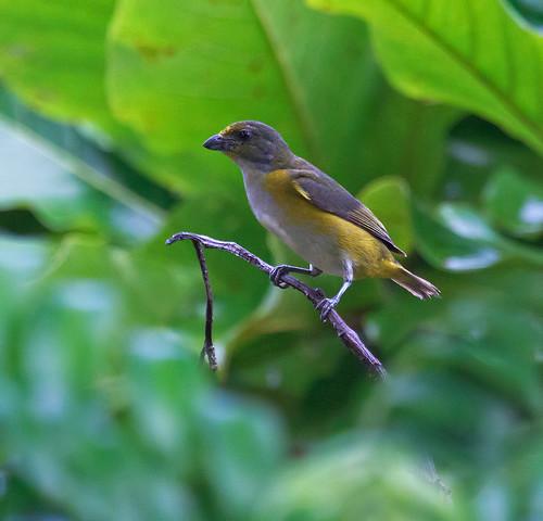 Yellow-throated Euphonia - Euphonia hirundinacea hirundinacea - Gulpannad eufonia