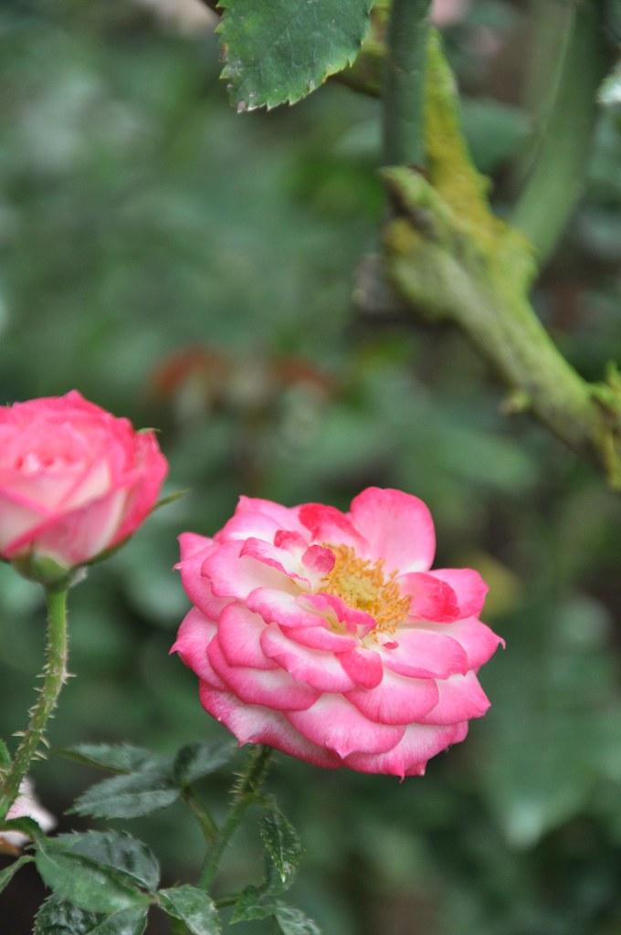 Rosy Saturday 玫瑰色的星期六 ...