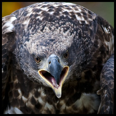 Juvenile bald eagle portrait 7