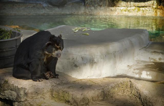 Bear at San Francisco zoo (2009)