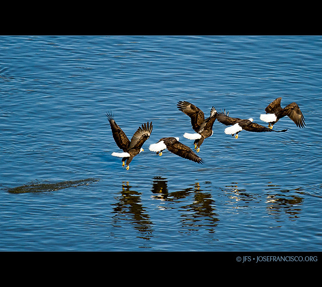 Bald Eagle Catching Fish http://www.flickr.com/photos/josefranciscosalgado/5350979089/