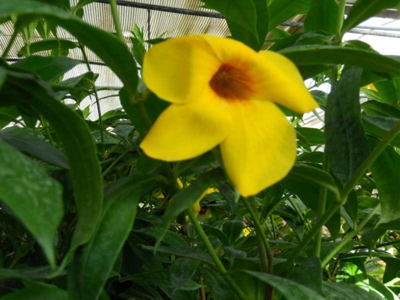 Allamanda spp. 2