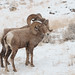 That's Snow Sheep by littlebiddle