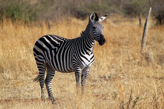 plains zebra equus quagga flickr photo sharing