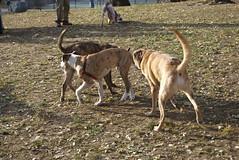 animal sports(0.0), whippet(0.0), galgo espaã±ol(0.0), sighthound(0.0), sloughi(0.0), sports(0.0), street dog(0.0), greyhound(0.0), dog sports(1.0), animal(1.0), dog(1.0), pet(1.0), mammal(1.0), fauna(1.0), hunting dog(1.0),