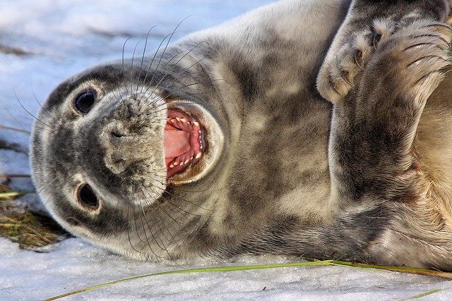 Seal - Donna Nook