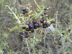 berry, tree, plant, subshrub, flora, produce, fruit, food,