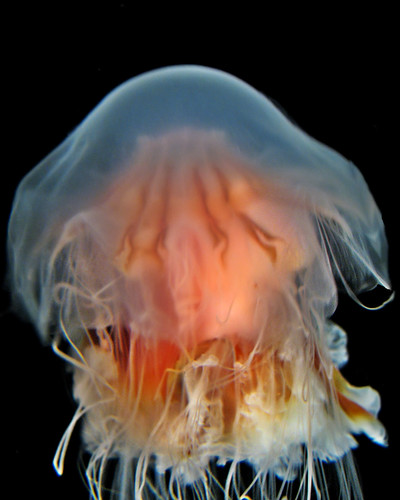 Diaphanous jelly