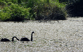 صورة Botanical Garden قرب بورتو أليغري. fauna swan botanicalgarden blackswan