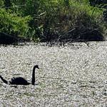 Bild von Botanical Garden in der Nähe von Porto Alegre. fauna swan botanicalgarden blackswan