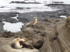nursing seals