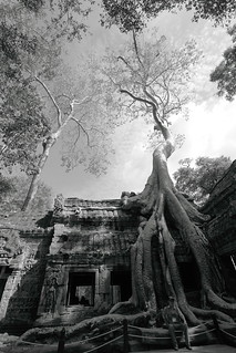 Silk-cotton trees entwined among ruins